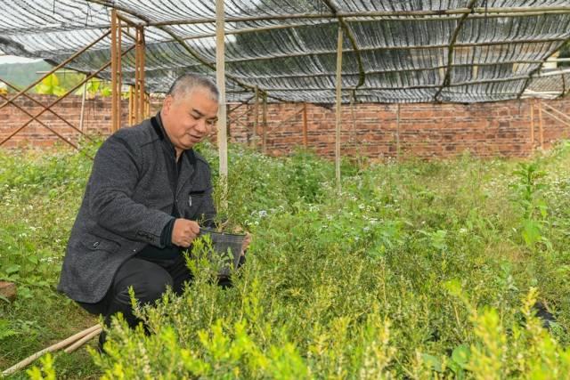 陈文祥正在观察黄杨树苗的生长情况。