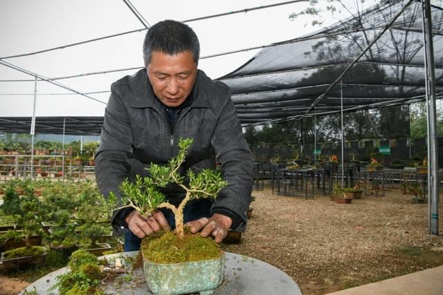 黄干洪正在为黄杨上盆造型。